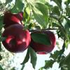 Trabalho na apanha da fruta