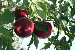 apanha da fruta (600x400)